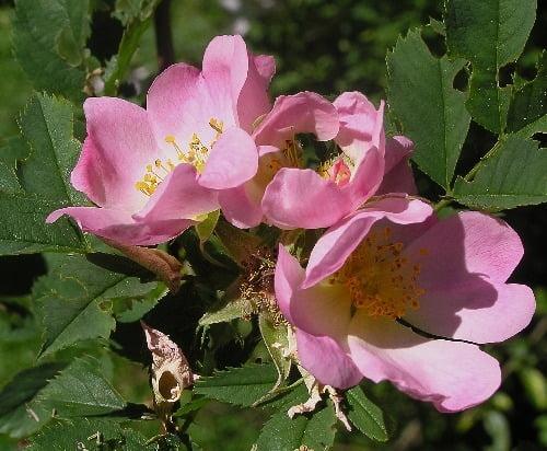 Róża sina